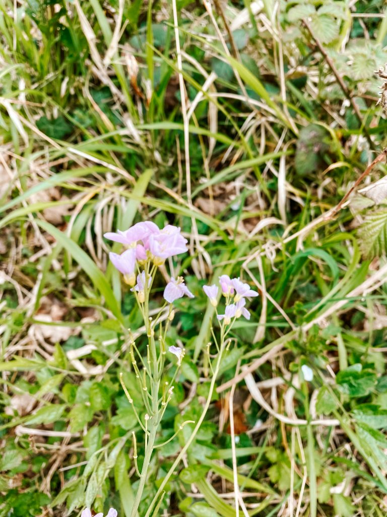 Small, pale pink wildflowers in a grassy meadow
